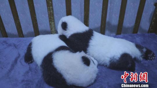 陕西三只秦岭大熊猫萌宝待认养,你心动了吗?