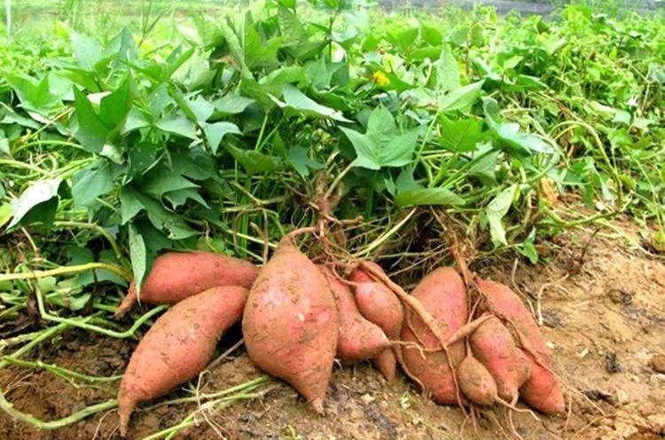 那些番薯充饥的日子 ▏作者胡圣宇