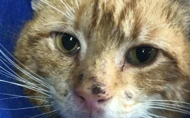 网赌追回损失的案例_重情义的橘猫,被收养后为了报恩,主动照顾起了三只小奶猫