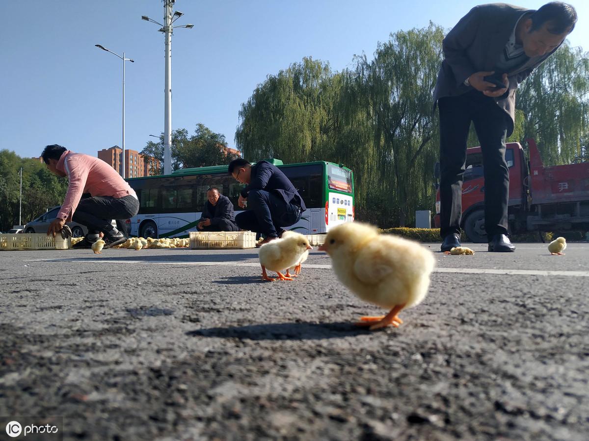 雞不可失!雞農卡車翻覆「小雞全都灑出來」村民見狀湧上狂撿...呆萌逃竄畫面超可愛!