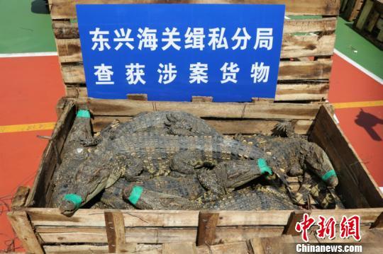 南宁海关破获重大走私鳄鱼案,成功解救活体暹罗鳄806条