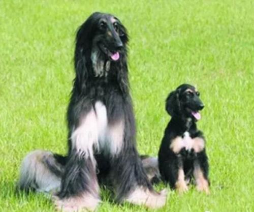 网站赌博提款总是失败_博雅秀岩克隆宠物Snuppy,世界上第一只克隆犬背后的故事
