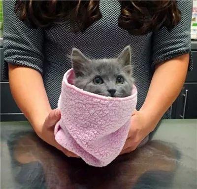 网赌平台被入侵损失_网友在路边捡到一只奄奄一息的小灰猫,辛苦救活养大后,真是捡到宝咯!
