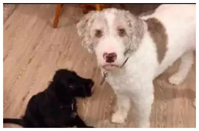 帮人追网赌黑分_网友捡了只黑狗,结果家里的白狗瞬间石化了,一动不动站在原地!
