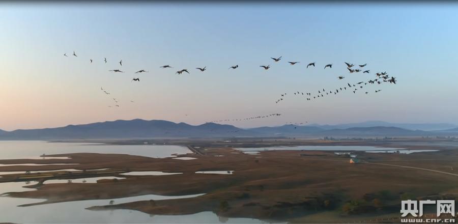 数万只大雁停歇吉林敬信湿地
