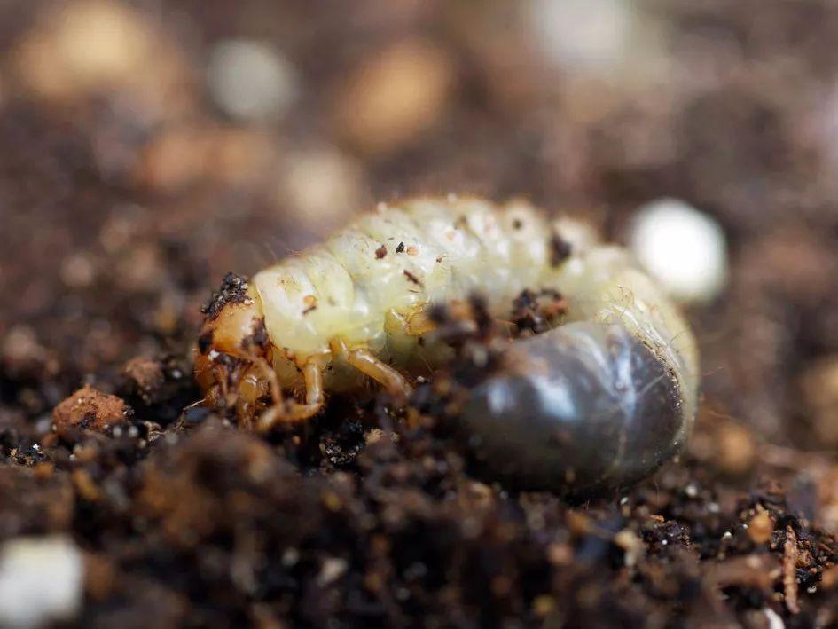 对付这10种地下害虫,我们有绝招!