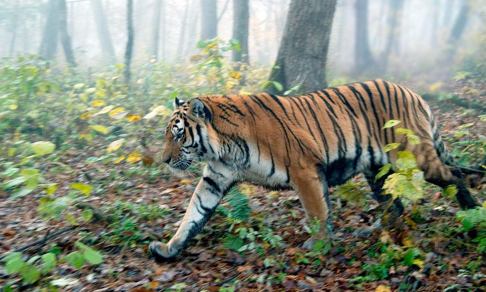 最漂亮的动物_它们被誉为自然界最漂亮的猫科动物,常有人捡得起却养不
