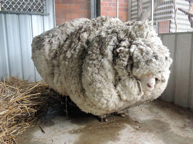 澳大利亚10岁网红绵羊去世 曾一次剪下80斤羊毛