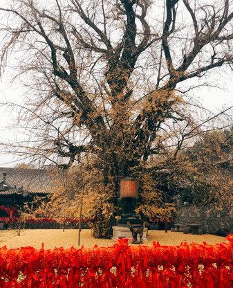 秋天的西安有多美?枫红银杏黄,美了上千年了