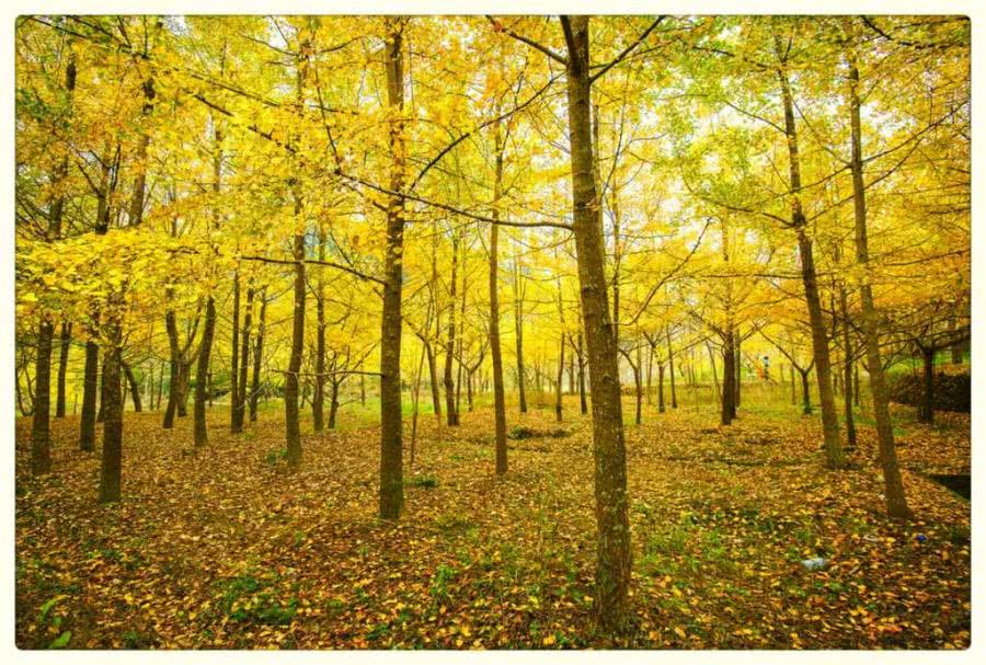 桂林不只有山水,还有银杏海洋乡,深秋美到爆