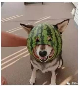 主人脑洞大开,用西瓜皮给狗狗做了个头盔