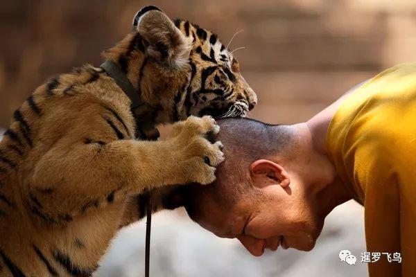 原创             泰国备受争议的虎庙,将变成猫狗避难所