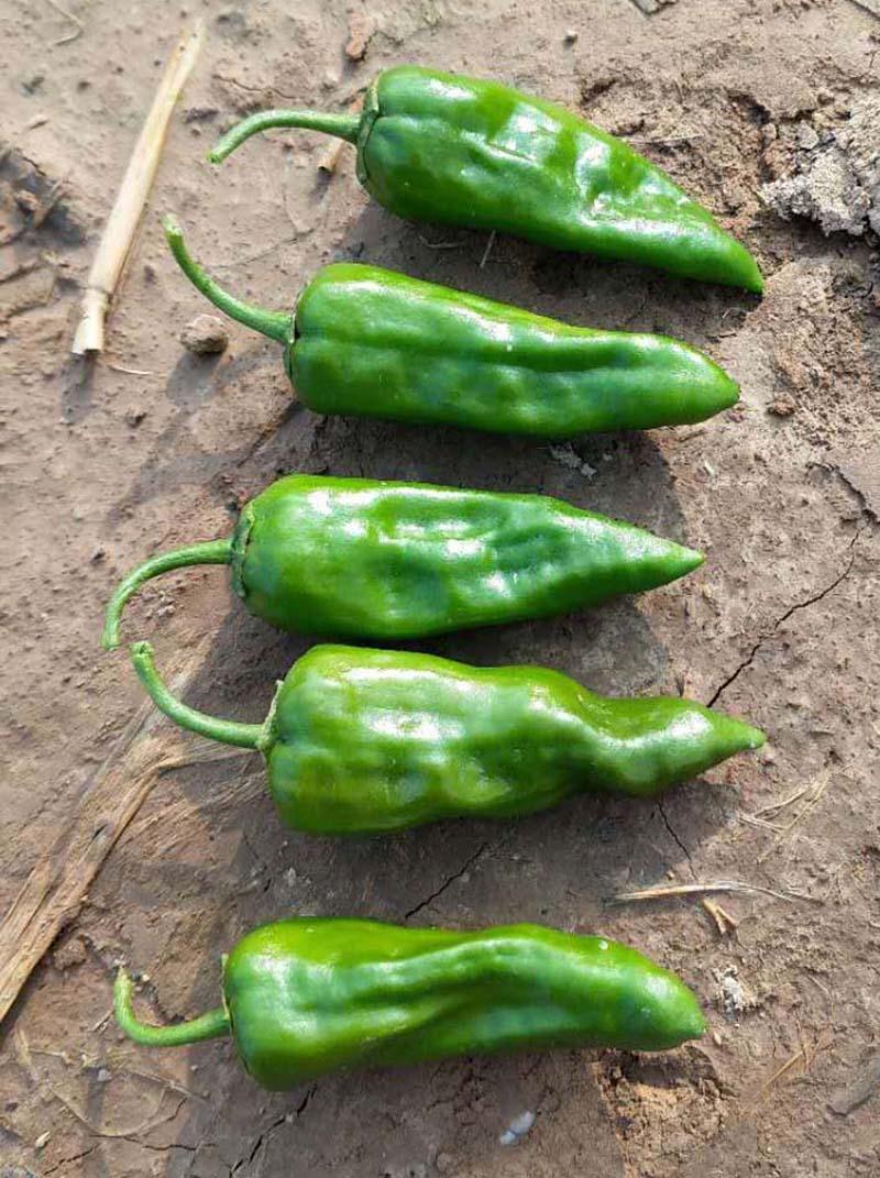 牛角椒——辣椒、辣子、辣角、红海椒、朝天椒