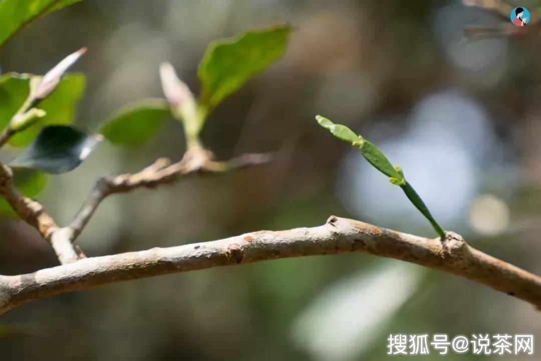 古茶树最多的山头是哪个?_茶园