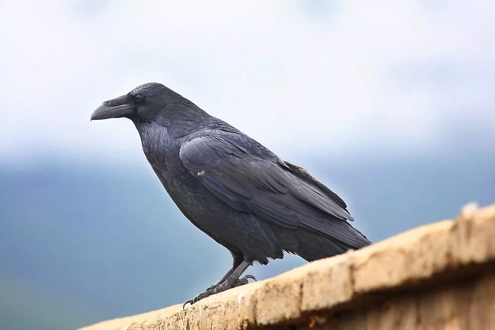 十月能量动物――渡鸦