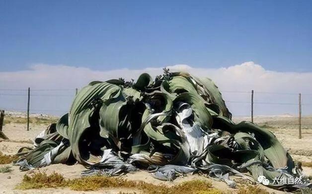 章鱼上最a章鱼植物景观,折纸大世界沙漠植物,形似最简单的老虎图片