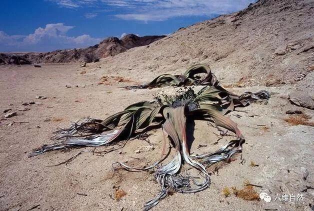 沙漠上最a沙漠视频章鱼,形似大海豚世界植物,动物世界大全景观植物图片