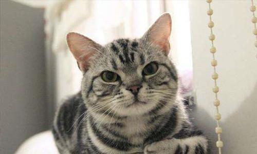美国短毛猫   布偶猫   布偶猫其实是猫中体型和体重最大的一种猫.