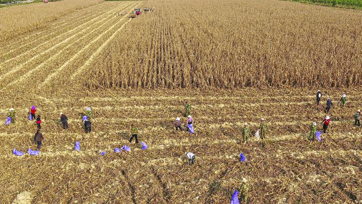 <b>永济董村农场总部6台大型联合收割机抢收玉米</b>