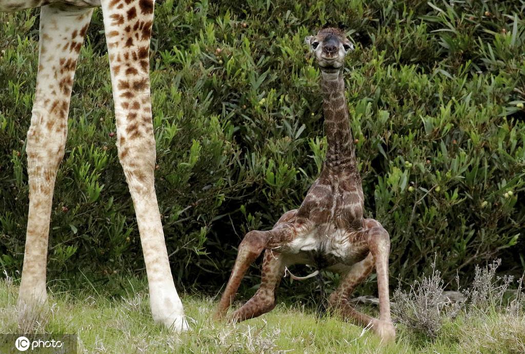 重生长颈鹿宝宝踉跄学步尽力站起来的姿态萌化人心