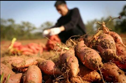 <b>郑大毕业生回家种红薯,因为4次求职未果,网友:知识含量在哪</b>