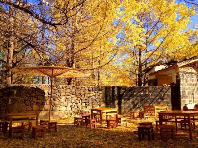腾冲的银杏攻略,把这个地方变成了秋季最美的村落!_腾冲县