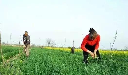 小麦冬前旺长