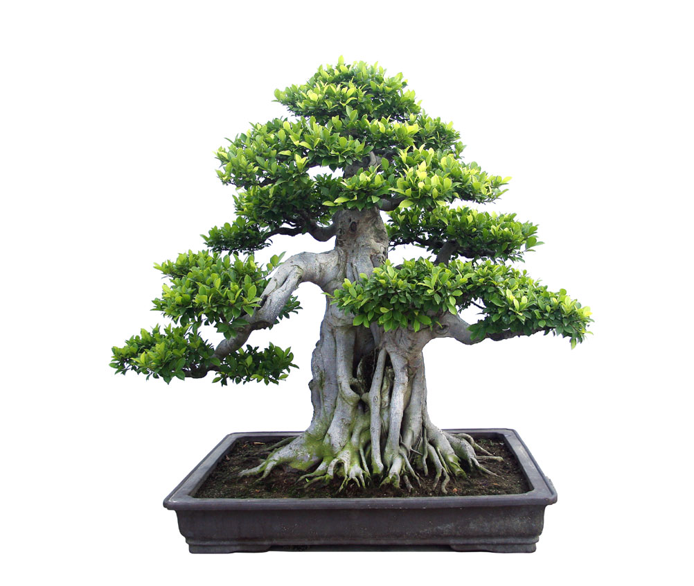榕树盆景艺术造型