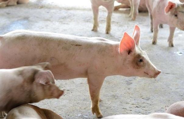 大跌后迎来上涨,15省猪价强势反弹,猪肉会涨到50元一斤吗