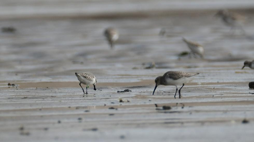 福建首次观测记录到勺嘴鹬新生幼鸟迁徙