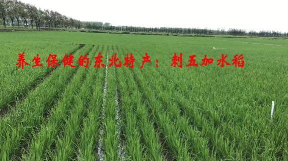 """黑龙江省鸡东县""""野五加""""大米,科技营养兼收并蓄"""