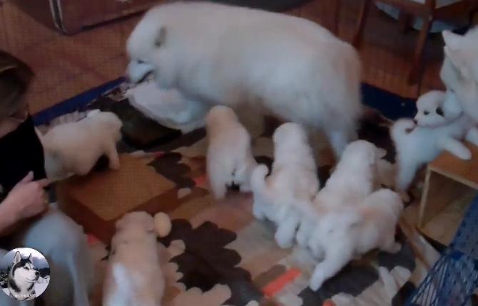 """原创 萨摩耶生了9只奶狗,被烦得到处躲,女主想了个""""坏点子"""""""