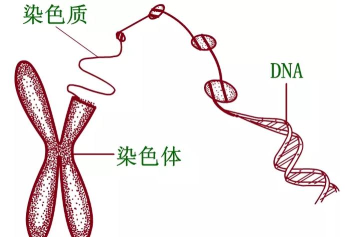 染色体检查多久出结果 这2大理由告诉你为什么要做染色体检查
