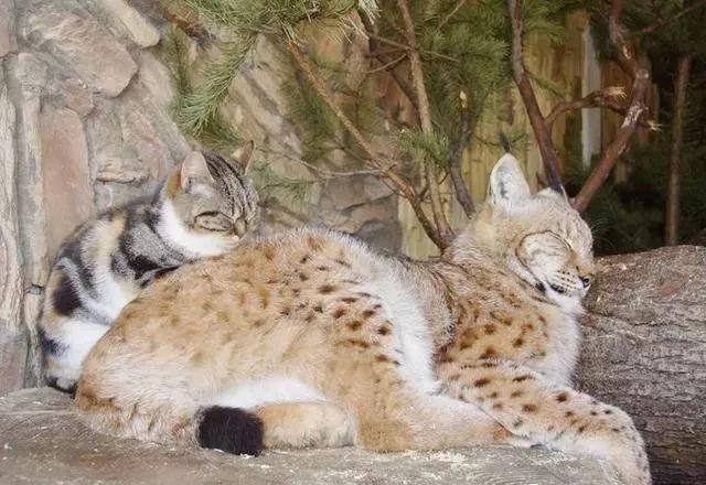 流浪小猫觅食误闯进了动物园,没想到从此改变了命运!