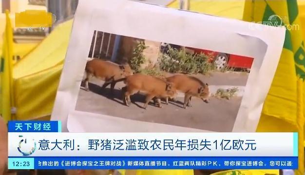 意大利野猪泛滥 意大利农民:我们非常累