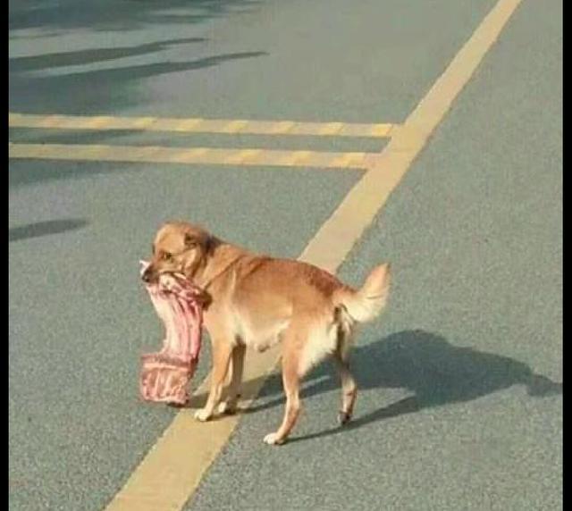 狗狗叼着一大块排骨,好久没吃肉的网友一路尾随它,狗:你想干嘛