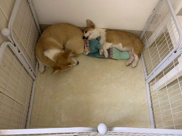 """原创 这两只柯基睡着了是""""天使"""",睡醒了是""""恶魔"""",还会拆家了"""