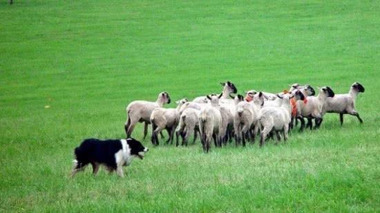 狼在袭击羊群时看到牧羊犬会跑,难道因为打不过?不跑白痴