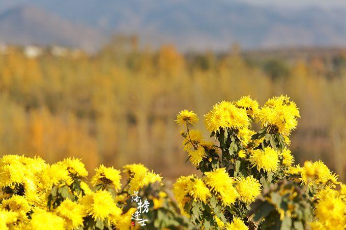 秋季来山东泰安,这里有绝美的菊花,充满诗意,还吸引了众多网红_良心