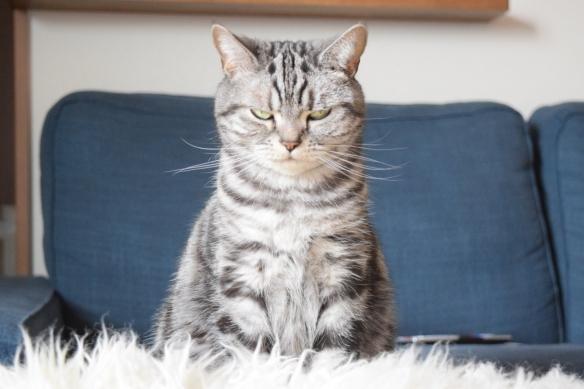 在坚持什么?边打瞌睡边生气的猫咪こまち萌图欣赏