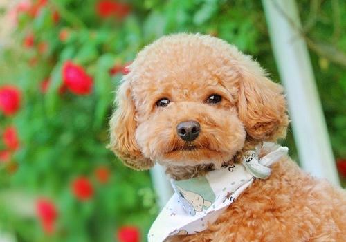 这5种干净又好养的狗狗,适合有小孩的家庭