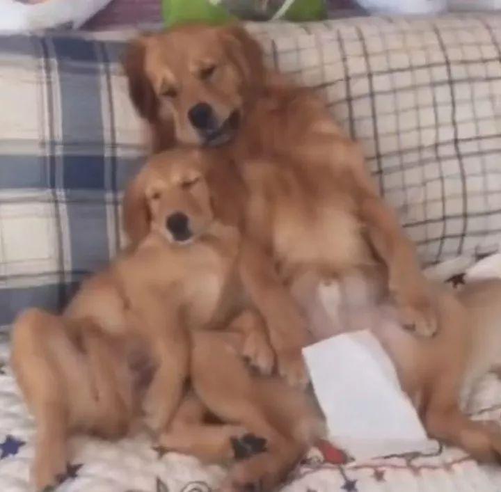 两只金毛当众撒狗粮,旁边的泰迪只好抱个玩具安慰自己!