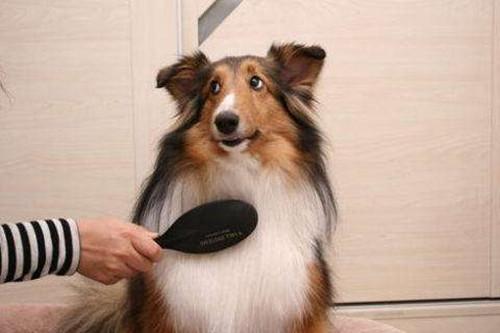 原创 【养宠经验分享】狗狗变得爱掉毛是怎么回事