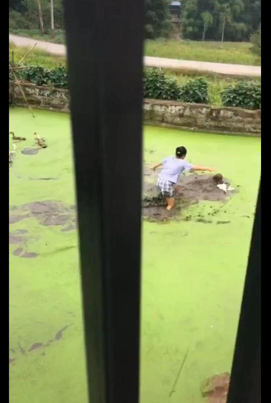 网友带金毛去乡下玩,第二天它就跳池塘里去咬鸭子,妈妈都崩溃了