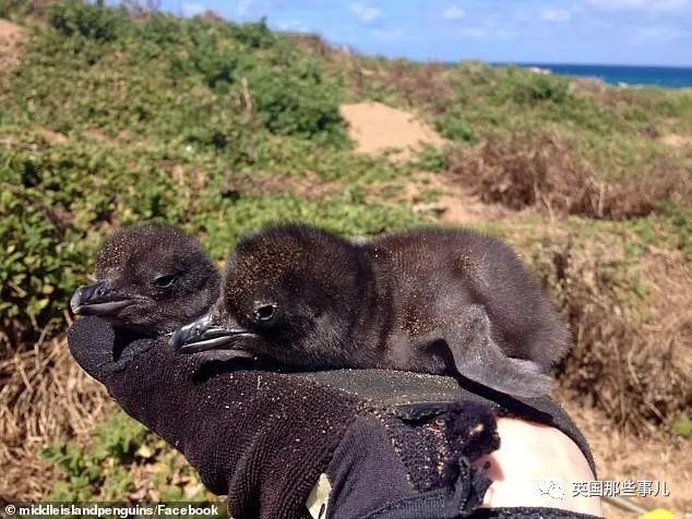 给小企鹅当了8年保镖,最近,护鹅汪Tula光荣退休啦!