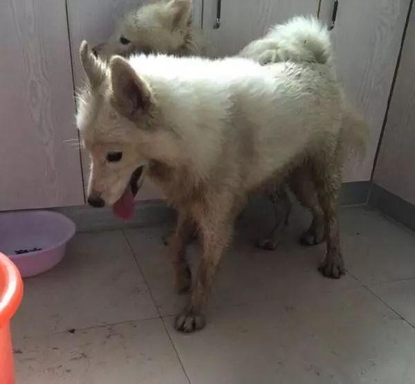 """主人放两只萨摩耶出去玩,回来后却看到狗狗穿上了""""黑丝"""""""