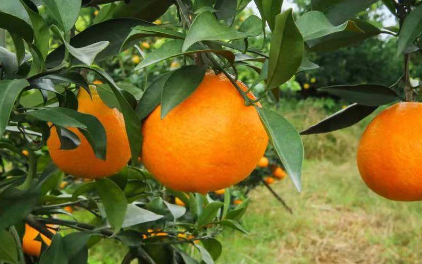 """果冻橙""""爱媛38号""""来了 正是尝鲜好时候"""