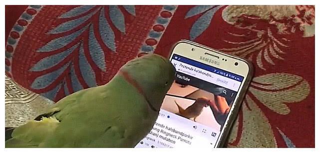 一只有脾气的鹦鹉,爱上玩手机,谁敢碰手机跟谁拼命