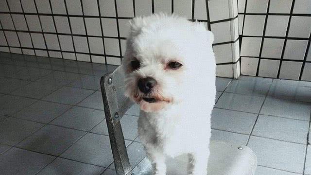 狗子洗完澡去草地里撒欢,回来以后就被主人把毛剃光了,活该