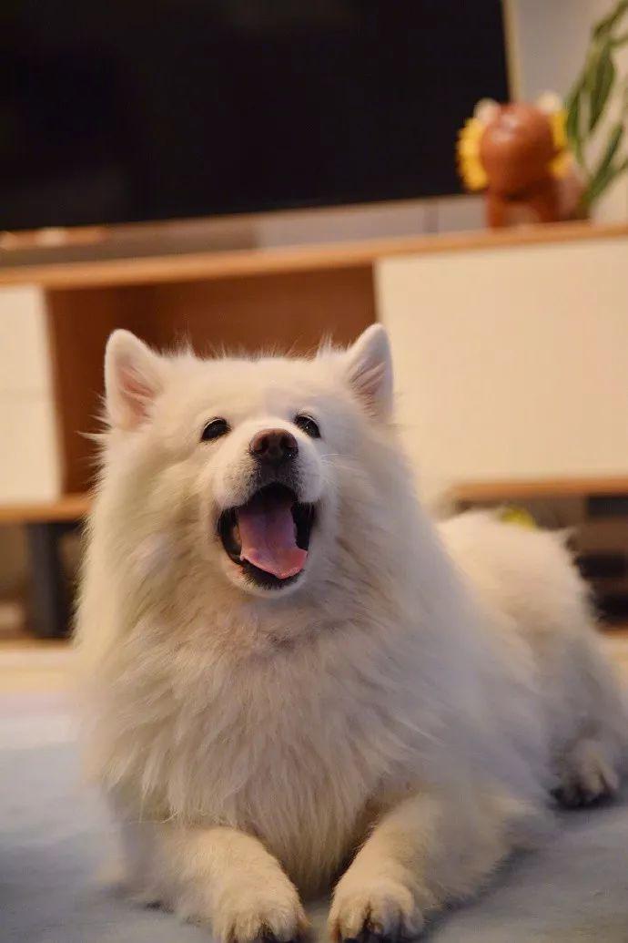 狗狗换毛,整个汪瘦了一圈,但体重一点没轻,网友:长肉了呗!!